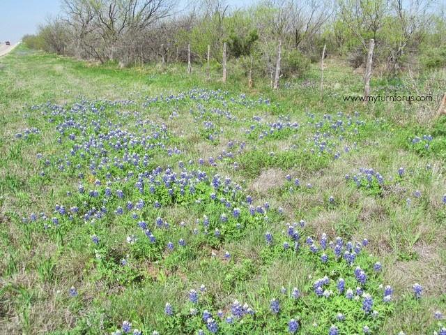 Bluebonnets, Texas Bluebonnets