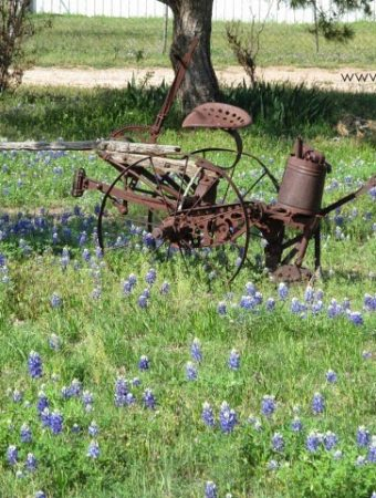 Springtime in Texas means Bluebonnets