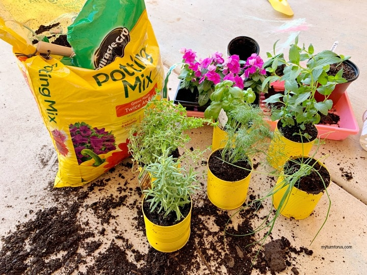 Planting herbs in recycled vegetable cans