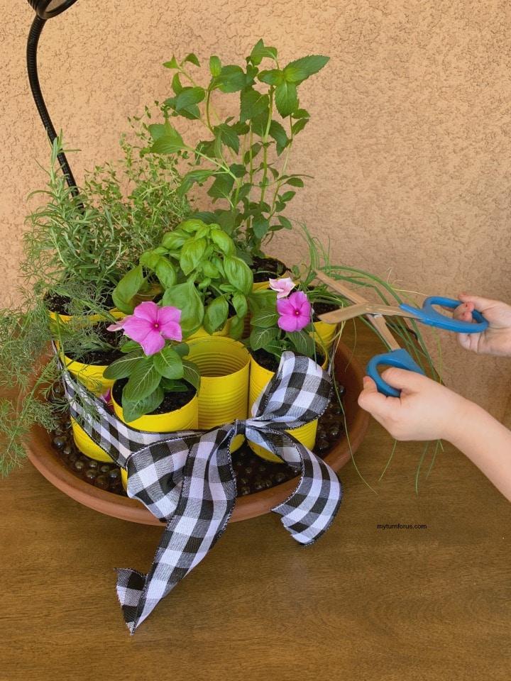 Trimming herbs in the indoor herb garden